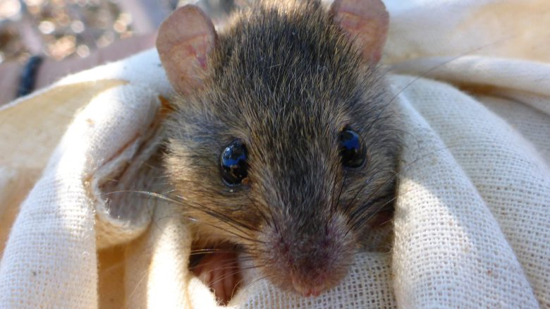 a-melomys-from-the-torres-strait-which-gives-an-idea-of-the-size-of-bramble-cay-melomys-image-courtesy-rebecca-diete-and-luke-leung-e1466020911454