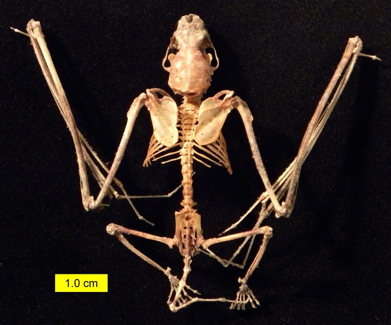 eptesicus_fuscus_skeleton